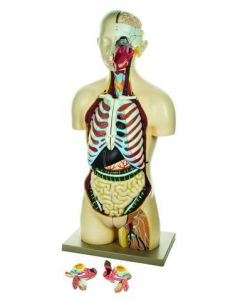 Human Torso Model Life-Size with Sex Organs [1387]