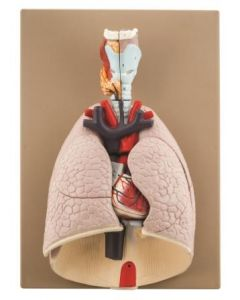 Heart and Lungs Model, 7 Parts [2895]