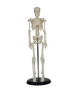 Human Skeleton Desk Top Model Pack of 3 [91988]