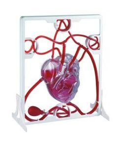 Heart Model - Pumping [2243]