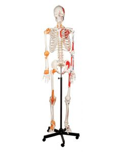 Human Skeleton Model with Ligaments [1210]