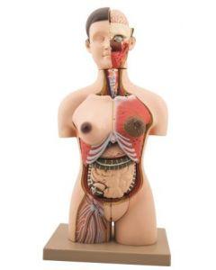 Human Torso: Half-Size with Sex Organs 28 Parts [2887]